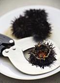 Sea urchin with scissors