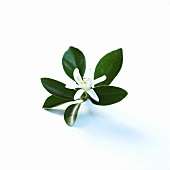 Orange blossom with leaves