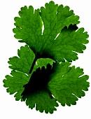 A coriander leaf