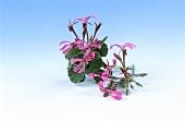 Umckaloabo (S. African geranium species; Pelargonium reniforme)