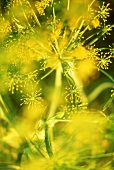 Dill with flowers (close-up)