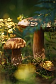 Ceps (Boletus edulis) in wood