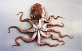 Ein Octopus Vulgaris (Krake)