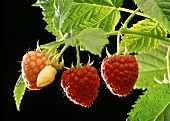 Three raspberries on the cane