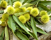 Sweet chestnuts in prickly shells with leaves