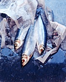 Herrings with ice wrapped in newspaper