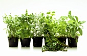 Spring Herbs in Pots