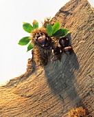 Sweet chestnuts on tree bark