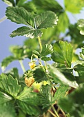 Green strawberries on the plant