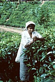 Woman picking tea leaves on a tea plantation (Sri Lanka)