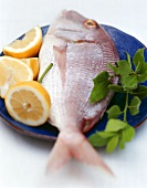 Sea bream with lemons and sprig of bay on blue plate