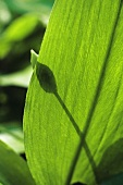 Ramsons (wild garlic) leaf (detail)
