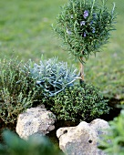 Mini-rock garden with lavender, rosemary and thyme