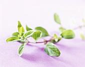 Fresh marjoram (Origanum majorana)