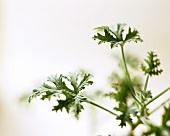 Zitronenduftgeranie (Pelargonium-Arten)