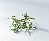 Two stalks of summer savory