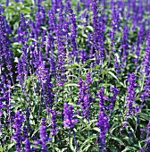 Meadow clary (Salvia pratensis) with flowers