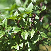 Vietnamese basil with flowers