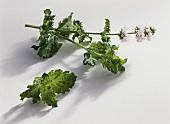 Japanese mint (Mentha arvensis var. piperascens)