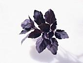 Basil 'Dark Opal' (Ocimum basilicum)