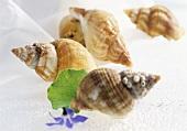 Whelks (Buccinum undatum)