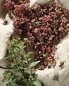 Oregano with dried flowers