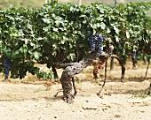 Old Cabernet Sauvignon vine