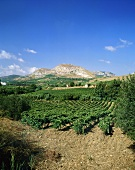 Vineyards near Segesta, Sicily, Italy