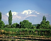 Vineyard in the Tupungato region, Mendoza, Argentina
