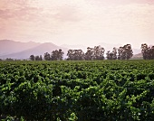 Vineyards in Casablanca Valley, Chile, S. America