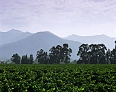 Vineyard in Casablanca Valley, Chile