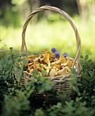 Chanterelles in basket in a woodland clearing