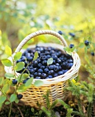 Blueberries in basket on forest floor