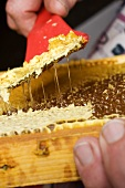 Hands scraping wax from honeycomb with uncapping fork