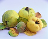 Apple quinces with leaves