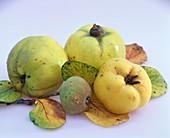 Apfelquitten mit Blättern