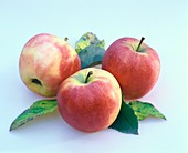 Elstar apples with leaves