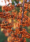 Pyracantha with berries