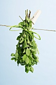 Oregano drying on a washing line