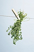 Thyme drying on a washing line
