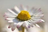 Daisy (close-up)