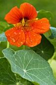 Nasturtium with flower (variety Whirlybird Tangerine)