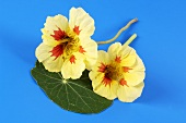 Nasturtium flowers and leaf (variety Strawberry ice)