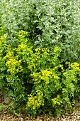 Rue and wormwood in herb garden