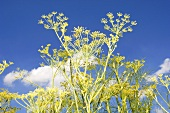 Wild fennel in the open air