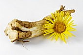 Elecampane root and flower