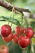 Cherries on branch