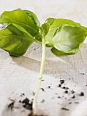 A stalk of basil