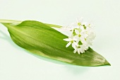Ramsons (wild garlic) leaf and flowers