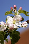 Apple blossom, variety Jonathan (close-up)
